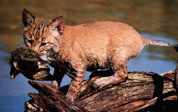 Le Lynx Et Autres F 233 Lins Image Images Apprentissagegf